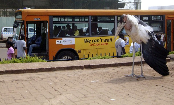 A marabou stork stands next to a bus terminus in Kampala